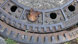 Eichhörnchen Gullydeckel