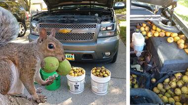 Eichhörnchen Pick-up Teaser