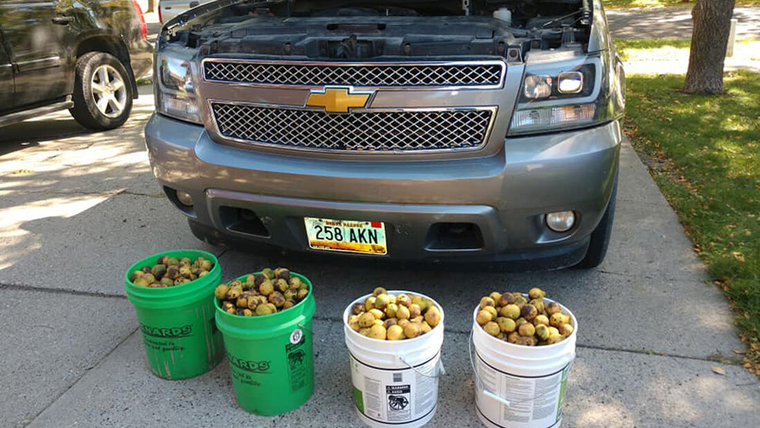 Eichhörnchen bunkert 75 Kilo Nüsse im Pick-up