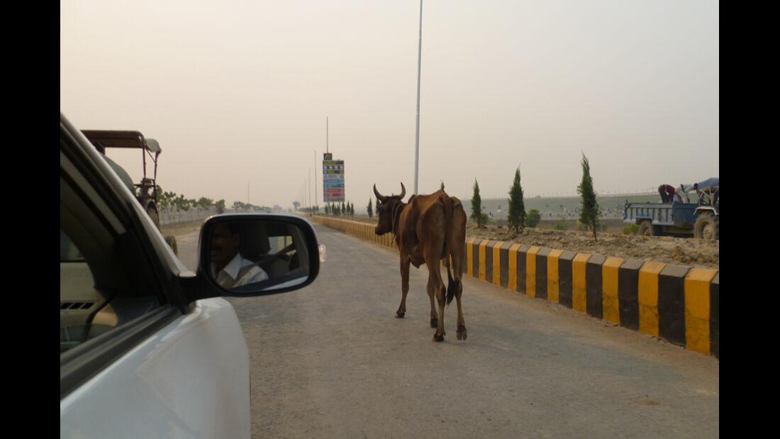 GP Indien 2011 - Kuh