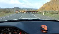 Rallye Allgäu-Orient, Kühe
