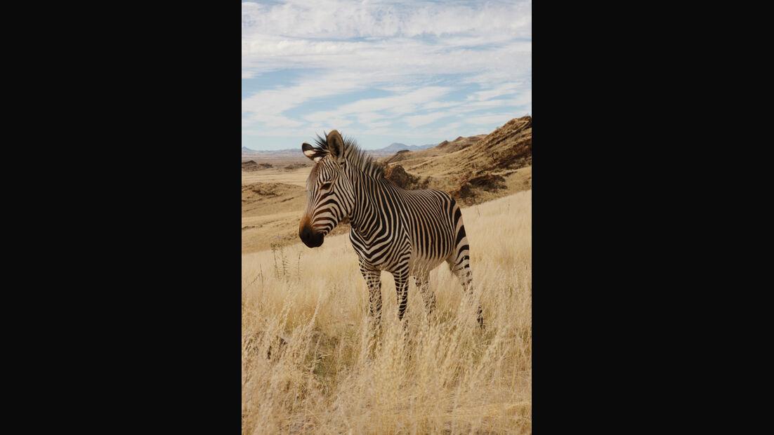 WÜSTE GEGEND, Zebra